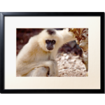 encadrement-photo-un-gibbon-en-normandie-jungle-savane--3d0d21-1c5c8P150